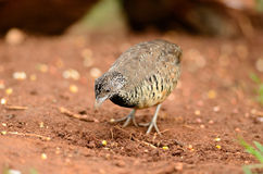 Female barred buttonquail Stock Image