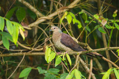 Female Barred Cuckoo Dove Royalty Free Stock Images