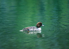 Female Barrow`s Goldeneye on Green Water High Mountain Lake. Close-up of a female Barrow`s Goldeneye swimming in a beautiful green colored high mountain lake in Royalty Free Stock Photos