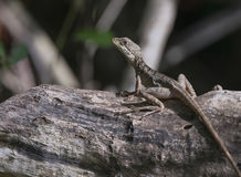 Female Basiliscus vittatus (Brown Basilisk) in Mexico Royalty Free Stock Image