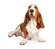 Female basset Hound Dog Isolated on White Royalty Free Stock Images