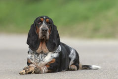 Female Basset Hound dog. Outdoors with a natural green background royalty free stock images