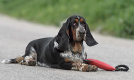 Female Basset Hound dog. Outdoors with a toy Stock Images