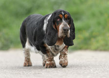 Female Basset Hound dog. Is walking outdoors stock photo