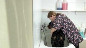 Female bathing bernese mountain dog. stock footage