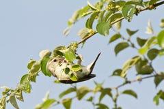 Female Baya Weaver Bird Royalty Free Stock Images