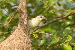 Female Baya Weaver Bird Stock Images