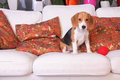 Female Beagle puppy stock photography