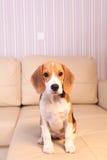 Female Beagle puppy Royalty Free Stock Image