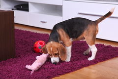 Female Beagle puppy inside a modern apartment Stock Photo