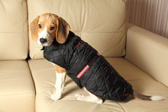 Female Beagle puppy wearing winter coat Stock Photos