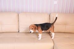 Female Beagle puppy Stock Image