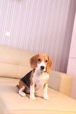 Female Beagle puppy Stock Photos
