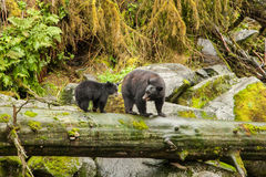 Female Bear and Cub Royalty Free Stock Photos