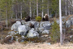 Female bear with cubs Royalty Free Stock Photo