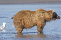 Female Bear Peeing in the Estuary Stock Image