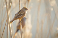 Female Bearded reedling (Panurus biarmicus) singing Stock Image