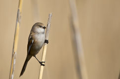 Female Bearded Tit. A female bearded tit is perching on a reed and looking around royalty free stock photo