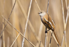 Female Bearded Tit Looking At Opposite Direction. A female bearded tit is perching on a reed and looking around in an opposite direction royalty free stock photos
