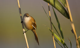 Female Bearded Tit on a Reed Royalty Free Stock Image