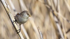 Female Bearded Tit on Reed Royalty Free Stock Photo