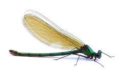 Female of Beautiful demoiselle (Calopteryx virgo) isolated on wh Royalty Free Stock Photography