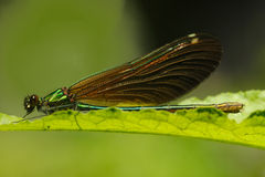 Female Beautifull Demoiselle Damselfly on leaf Stock Photography