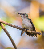 Female Bee Hummingbird on a branch. The Bee Hummingbird (Mellisuga helenae) is the smallest bird in the world and endemic to the Island of Cuba. The males' stock image