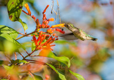 Female Bee Hummingbird in flight. The Bee Hummingbird (Mellisuga helenae) is the smallest Hummingbird of the world and is able to take the pollen from the Royalty Free Stock Image