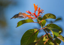 Female Bee Hummingbird in flight Royalty Free Stock Photography