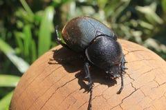 Female Beetles. Black female beetle on wood stock images