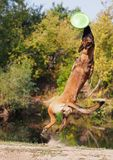 The female Belgian  Malinois catches a disk. The young dog Belgian  Malinois catches a disk in a jump Royalty Free Stock Image