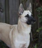 Female Belgian Shepherd Stock Photography