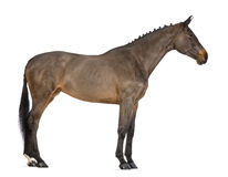 Female Belgian Warmblood, BWP, 4 years old, with mane braided with buttons Royalty Free Stock Image