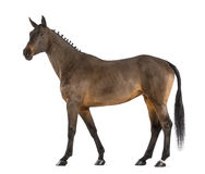 Female Belgian Warmblood, BWP, 4 years old, with mane braided with buttons royalty free stock images
