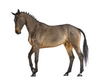 Female Belgian Warmblood, BWP, 4 years old, with mane braided with buttons. Against white background Stock Photo
