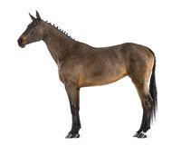 Female Belgian Warmblood, BWP, 4 years old, with mane braided with buttons royalty free stock photo