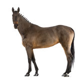Female Belgian Warmblood, BWP, 4 years old, with mane braided with buttons royalty free stock photos