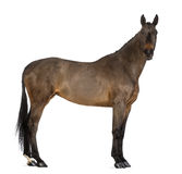 Female Belgian Warmblood, BWP, 4 years old, with mane braided with buttons, looking at camera Stock Photo