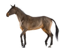 Female Belgian Warmblood, BWP, 4 years old, with mane braided with buttons, walking stock photo