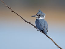 Female Belted Kingfisher Royalty Free Stock Photography
