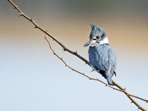 Female Belted Kingfisher Stock Image