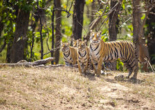 Female bengal tiger with cubs. Female royal bengal tiger with cubs in woods of Bandhavgarh Tiger Reserve in India Royalty Free Stock Photography