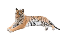 Female bengal tiger isolated Royalty Free Stock Photo