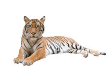 Female bengal tiger isolated Stock Images