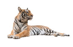 Female bengal tiger isolated Royalty Free Stock Image