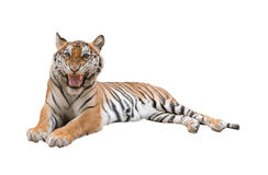 Female bengal tiger isolated Stock Photos