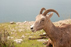 Female Big Horn Sheep at a lake Stock Photo