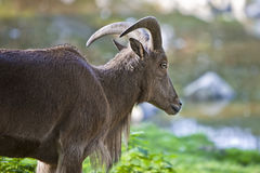 Female Bighorn Sheep. Looking Ahead stock photography
