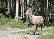 Female bighorn sheep in forest -  Royalty Free Stock Images